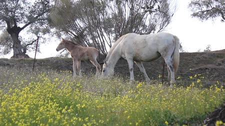 horse breeding : Mare and her foal grazing in the field Stock Footage