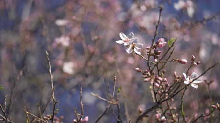 Bee extracting pollen from an almond blossom