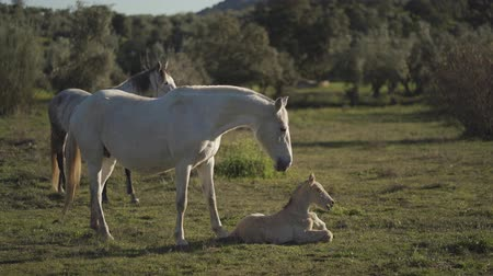 Mare waking her foal in the field at sunset