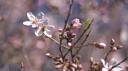 mandula : Bee extracting pollen from an almond blossom