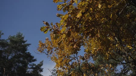 golden falls : Fall leaves with the blue sky background. Colorful foliage in the autumn park. the rustle of the wind