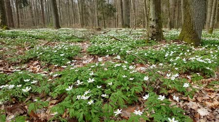 rose anemone : Anemone flowers in the forest in spring