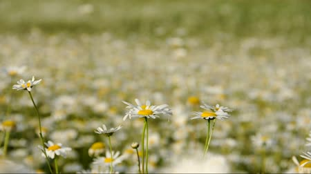 stokrotki : Numerous daisies blooming in a green field Wideo