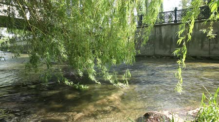 botanics : Branches of a willow reaching out for a river Stock Footage