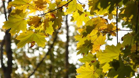 acer : Maple leafs in October