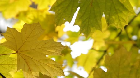 acer : Yellowed maple leafs in fall. Fragmented video