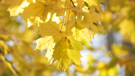 acer : Close-up on colorful maple leafs