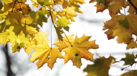 acer : Close-up on the branches of yellowed maple