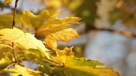 acer : Maple tree in the last months of autumn