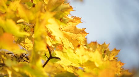 acer : Yellowed maple leafs in autumn. Fragmented video Stock Footage