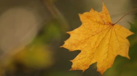 acer : Close-up on a yellowed maple leaf