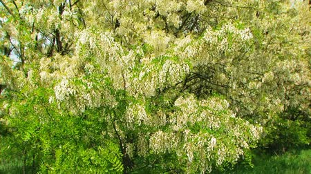 вешать : This is a footage of heavy blossoming branches of acacia tree and green leaves swaying on the wind. Focus on foreground.