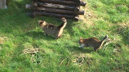 krátkosrstá : This is a shot from above of two domestic striped cats - one fluffy, one shorthaired - walking around on green meadow with wooden well nearby.  At the end, the last one runs away. Dostupné videozáznamy
