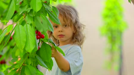 sağlıklı beslenme : Medium shot: cute little boy coming up to the cherry tree branch, picking some berries and eating them, after that he is running towards the camera. Defocused background.