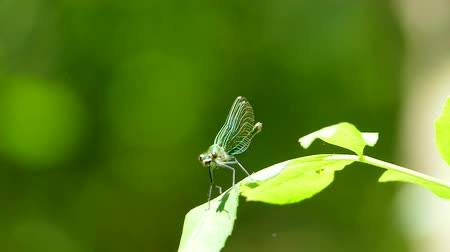 stylization : A green dragonfly sits on a leaf and dissolves its wings. Stock Footage