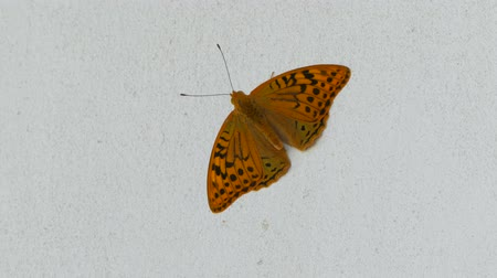 Butterfly on a white background waving its wings