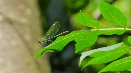 A dragonfly sits on a leaf and flies away