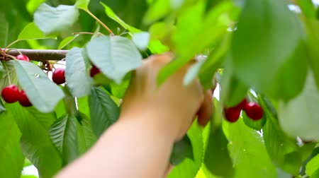 кулак : hand harvests the sweet cherry