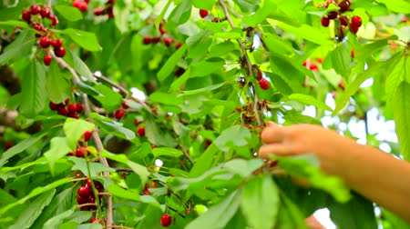 Hands harvest cherry from a tree Stok Video