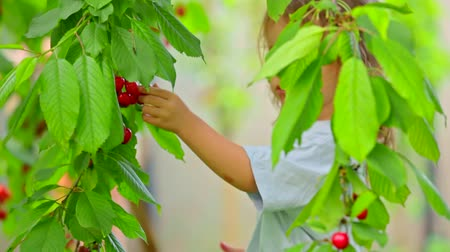 A child runs up a cherry tree tearing a berry and chewing it Stok Video