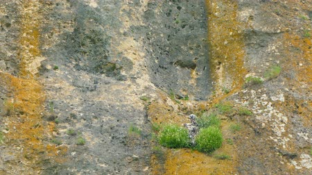 In the ledge on the rock there is a nest with birds. Stok Video