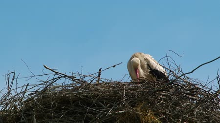birdie : Stork is washing in her nest