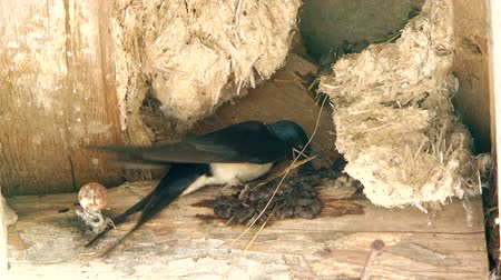 passarinho : The swallow is nesting its nest with its beak