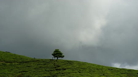 Time lapse footage video of moving clouds behind a single lonely oak tree at tea plantation, Cameron Highland, Malaysia.