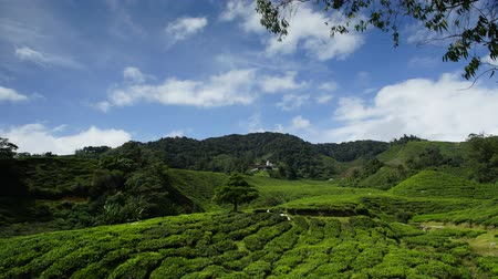 Timelapse of beautiful tea plantation over the mountain with dramatic blue sky 影像素材