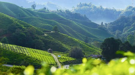 4K Timelapse of green Tea Plantation , Cameron Highland after sunrise.