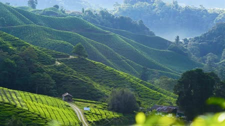 malásia : 4K Timelapse of green Tea Plantation , Cameron Highland after sunrise.