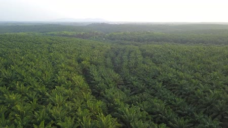 frescura : 4K Footage. Aerial view of palm oil plantation in Asia. Agricultural background. Vídeos