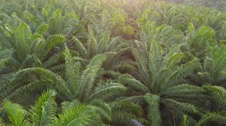 folhas : 4K Footage. Aerial view of palm oil plantation in Asia. Agricultural background. Stock Footage