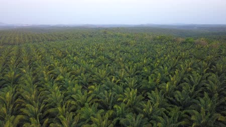 4K Footage. Aerial view of palm oil plantation in Asia. Agricultural background. 影像素材
