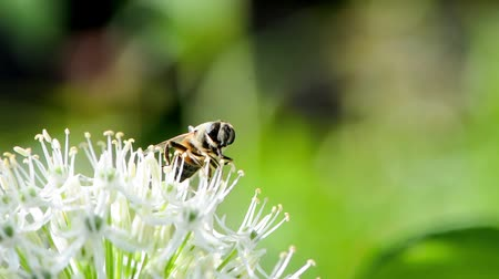 hoverfly : Hoverfly on giant onion flower