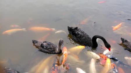 brocaded : Black swans and many Koi fishes
