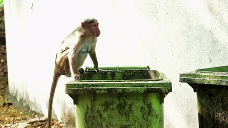 fetching : MONKEY FETCHING FOOD OUT OF TRASH BUCKET Stabilisation, CCCG, Emulation Stock Footage
