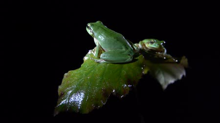 anura : Southern frog with black background