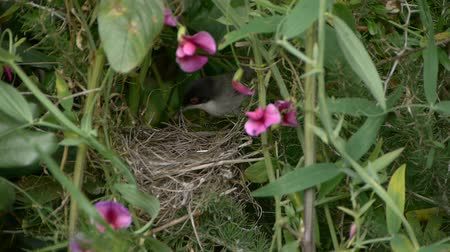insectivorous birds : Sardinian Warbler feeding their young among purple flowers