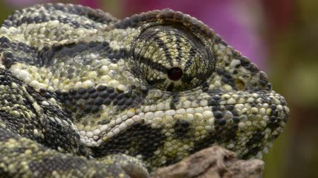 chamaeleo : common chameleon head with violet flower behind