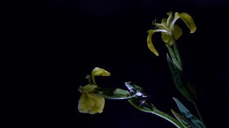 anura : Southern frog on lily with black background