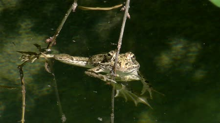 anura : grass frog in pond