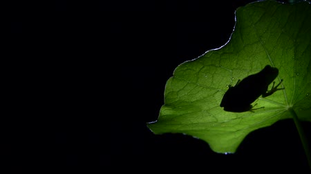 anura : Southern transparent shadow frog on leaf