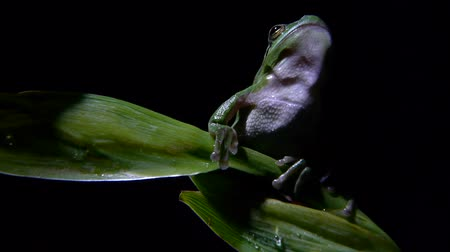 anura : Closeup of southern frog on leaf Stock Footage