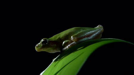 anura : Southern leaf frog with black background
