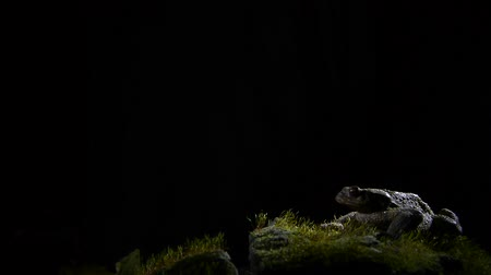anura : Common toad on stone with moss with black background