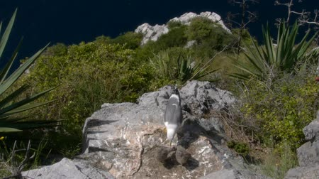 voracious : seagull with chicken rock Stock Footage
