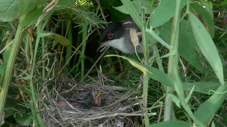 insectivorous birds : Sardinian Warbler feeding the chick in the nest