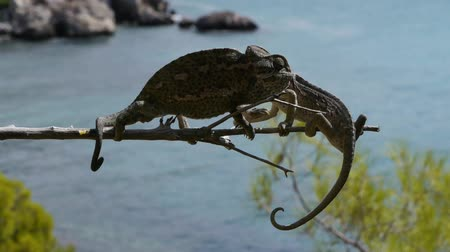 chamaeleo : chameleons in heat to the sea Stock Footage