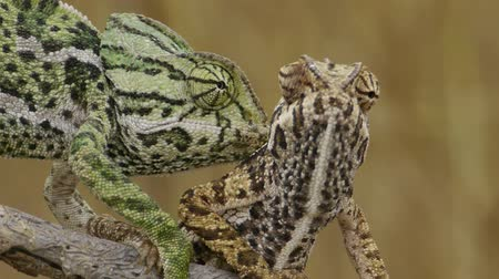 chamaeleo : chameleon male and female in mating season